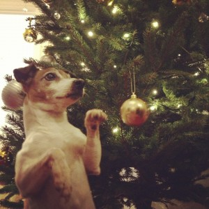 Jack Russell by Christmas tree