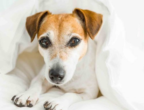 A Dog Owner's Guide to Canine Influenza