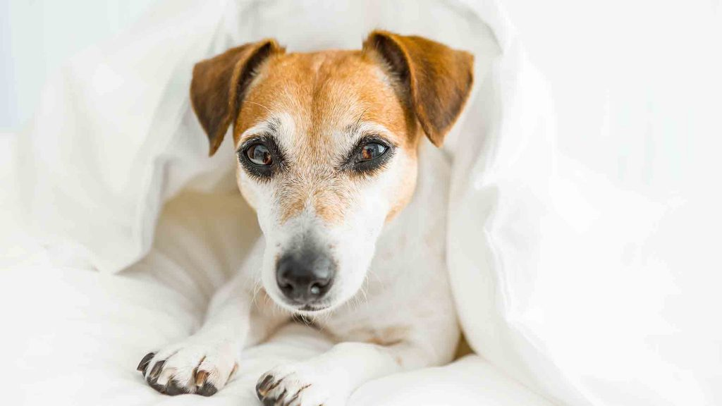 Canine influenza is a serious threat to dog health