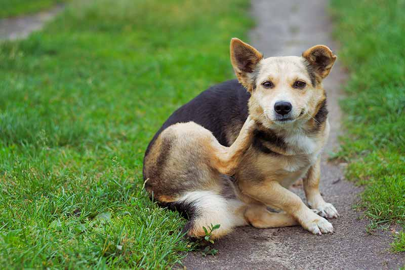 Allergies in pets can cause dogs to scratch a lot.