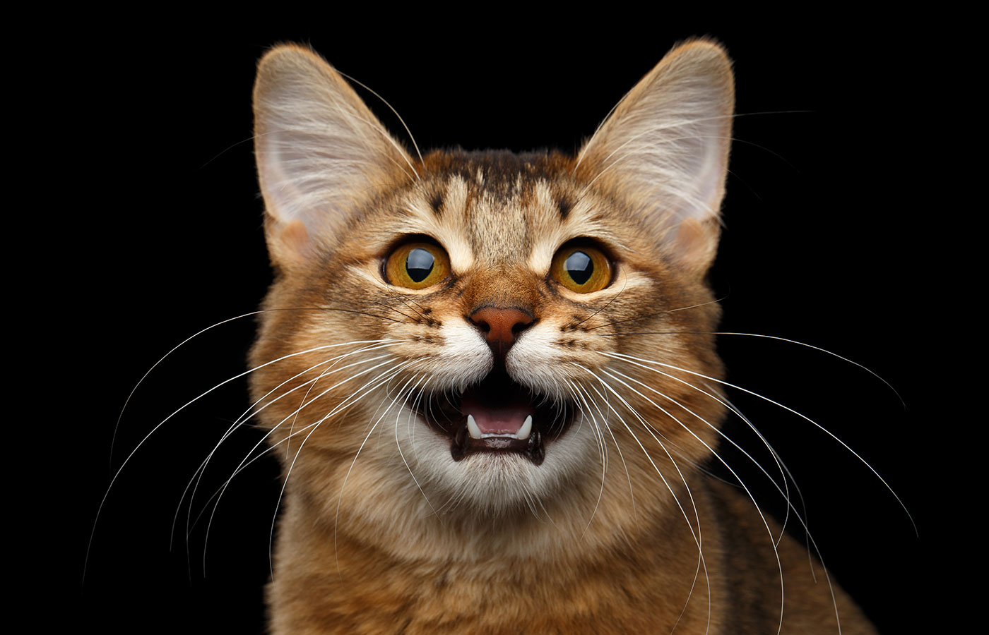 Close-up Portrait of meowing orange Somali kitty looking in camera on isolated black background - Image