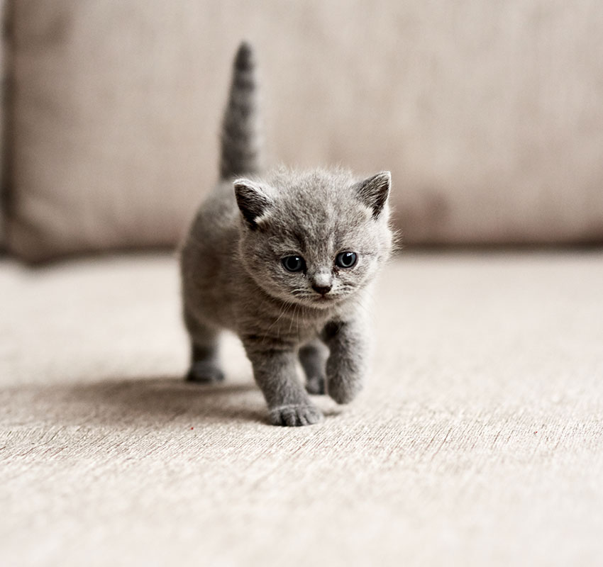 British blue kitten is very beautiful. The British kitten looks straight. The British kitten looks very closely. - Image