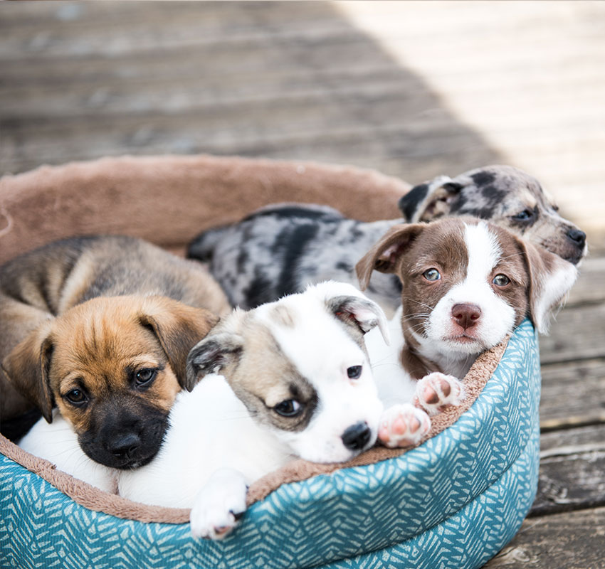 Litter of Terrier Mix Puppies Playing in Dog Bed Outside on Wooden Deck - Image