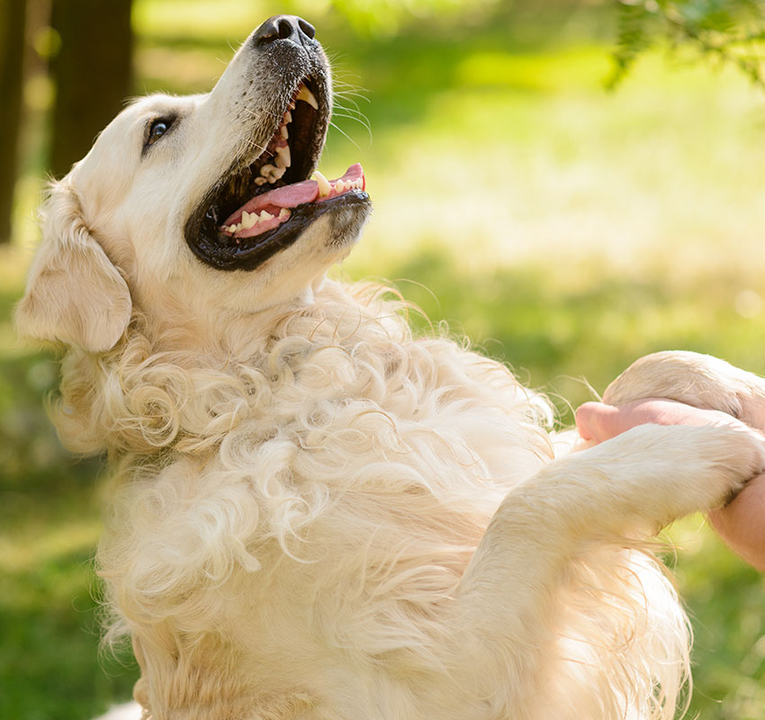Lovely friend of a human looks at his master with opened mouth. Golden retriever gives a paw to the male hand. - Image