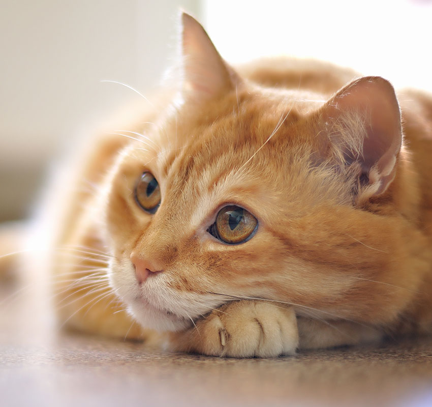 lying cat - Image