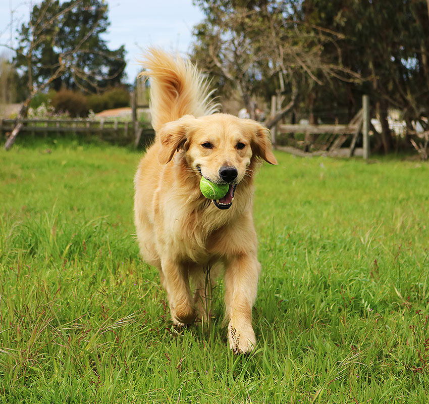Golden Retriever Dog Running With Tennis Ball - Image
